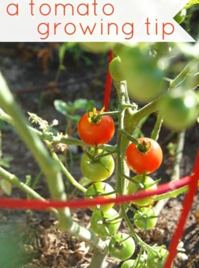 A Tomato Growing Tip