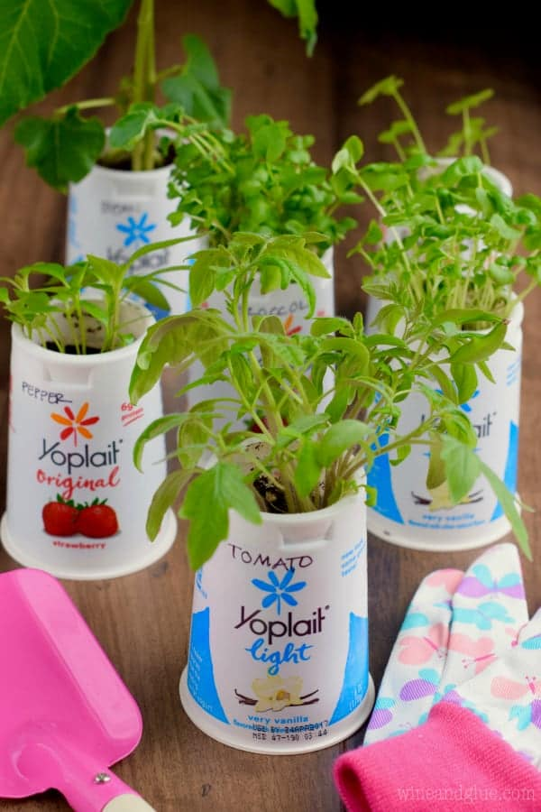 Some herbs are sprouting out of the yoplait cup.