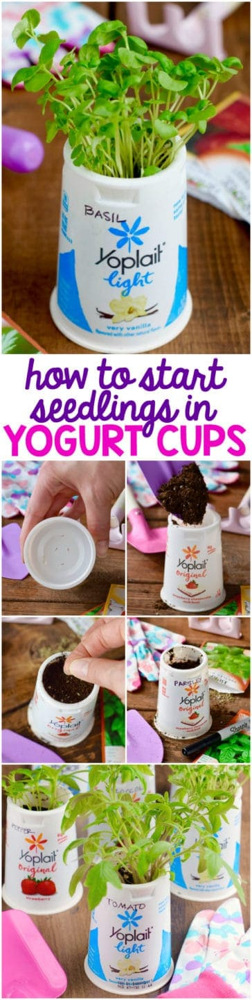 The instructions on sprouting herbs from a yoplait cup
